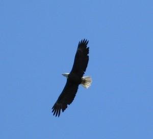 Eagle flying overhead on Assateague