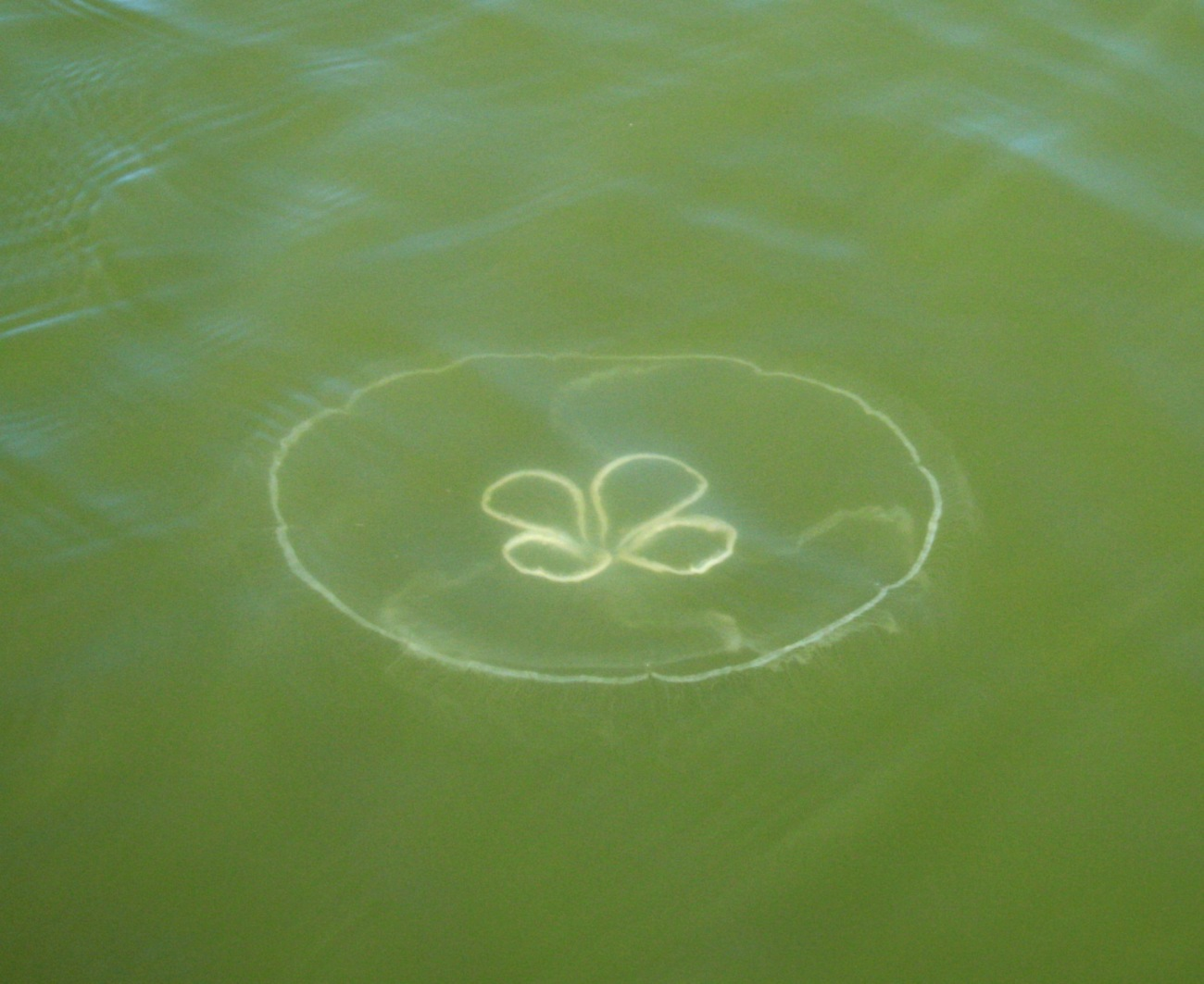 Taylor's Landing Jellyfish