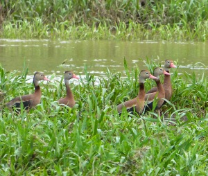 Black Bellied Whistling Duck - Costa Rico