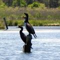 Cormorants on Pikes Creek