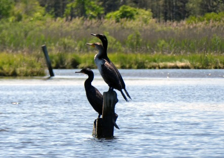 Cormorants on Pikes Creek