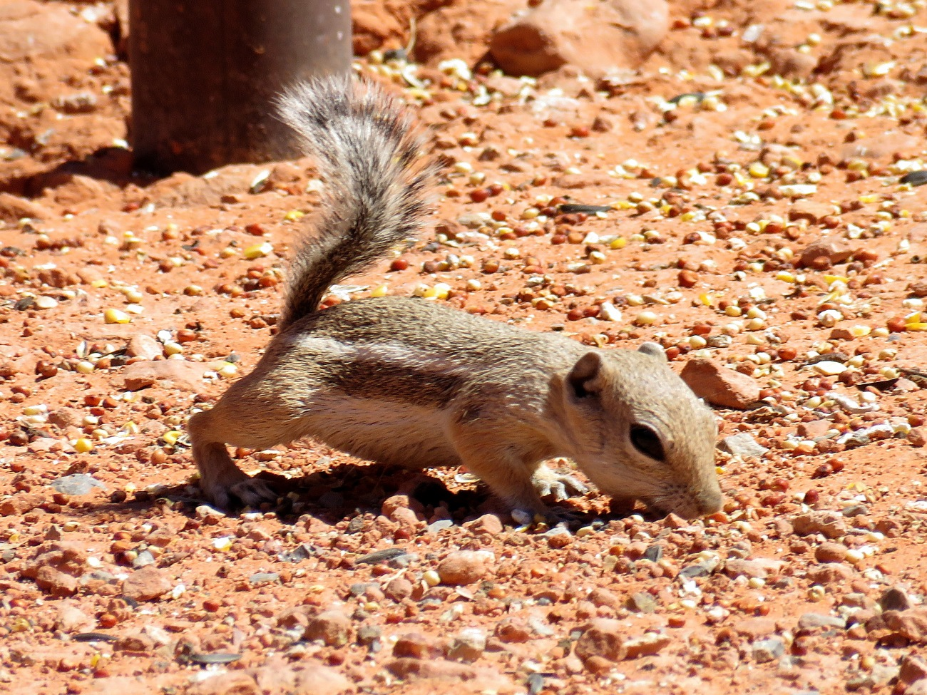 20170615_131214_Golden Rock Squirrel