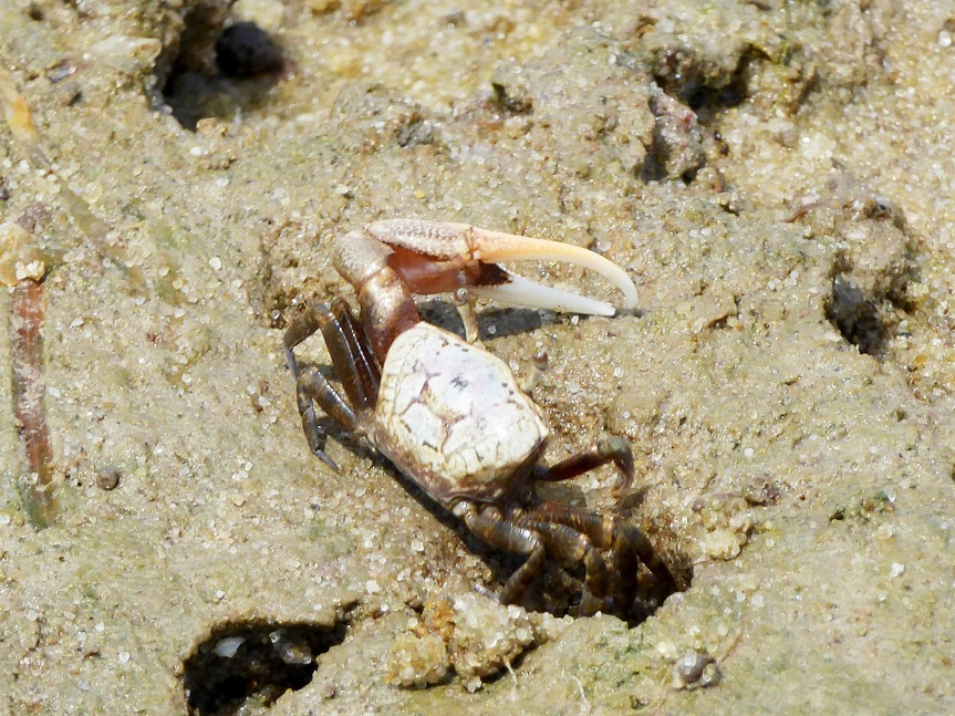 Male crab trying to attract female