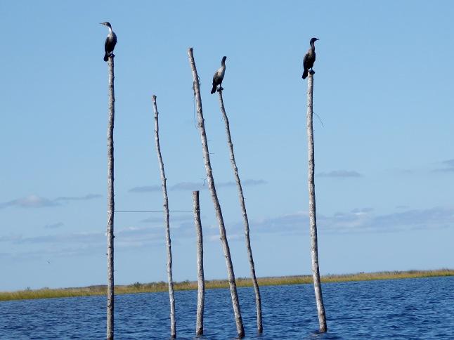 Cormorants on a stick