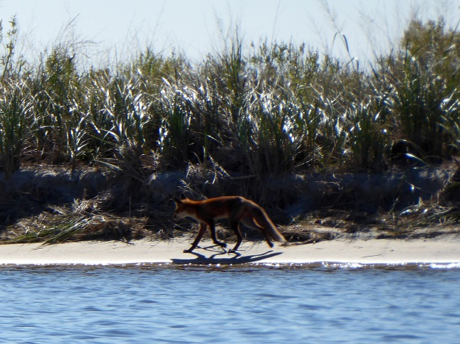 Fox patrolling the shore