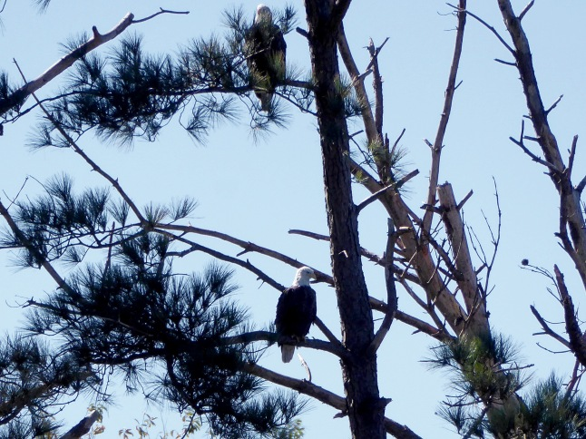 Two eagles in a pine tree