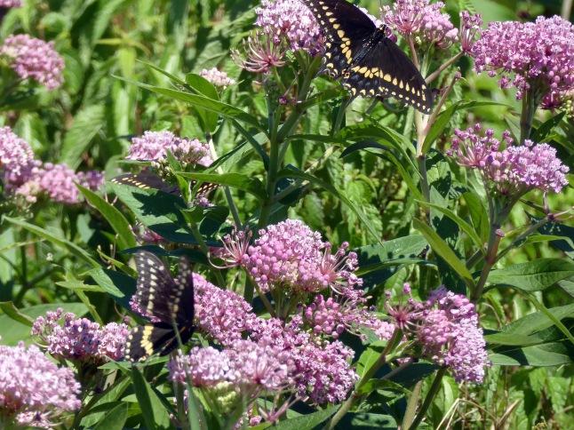 20170730_114050_Butterflies 1