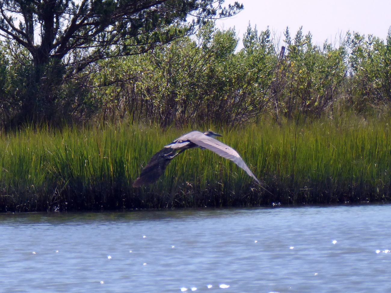 20170806_120055_Tri-Colored Heron in flight - Copy