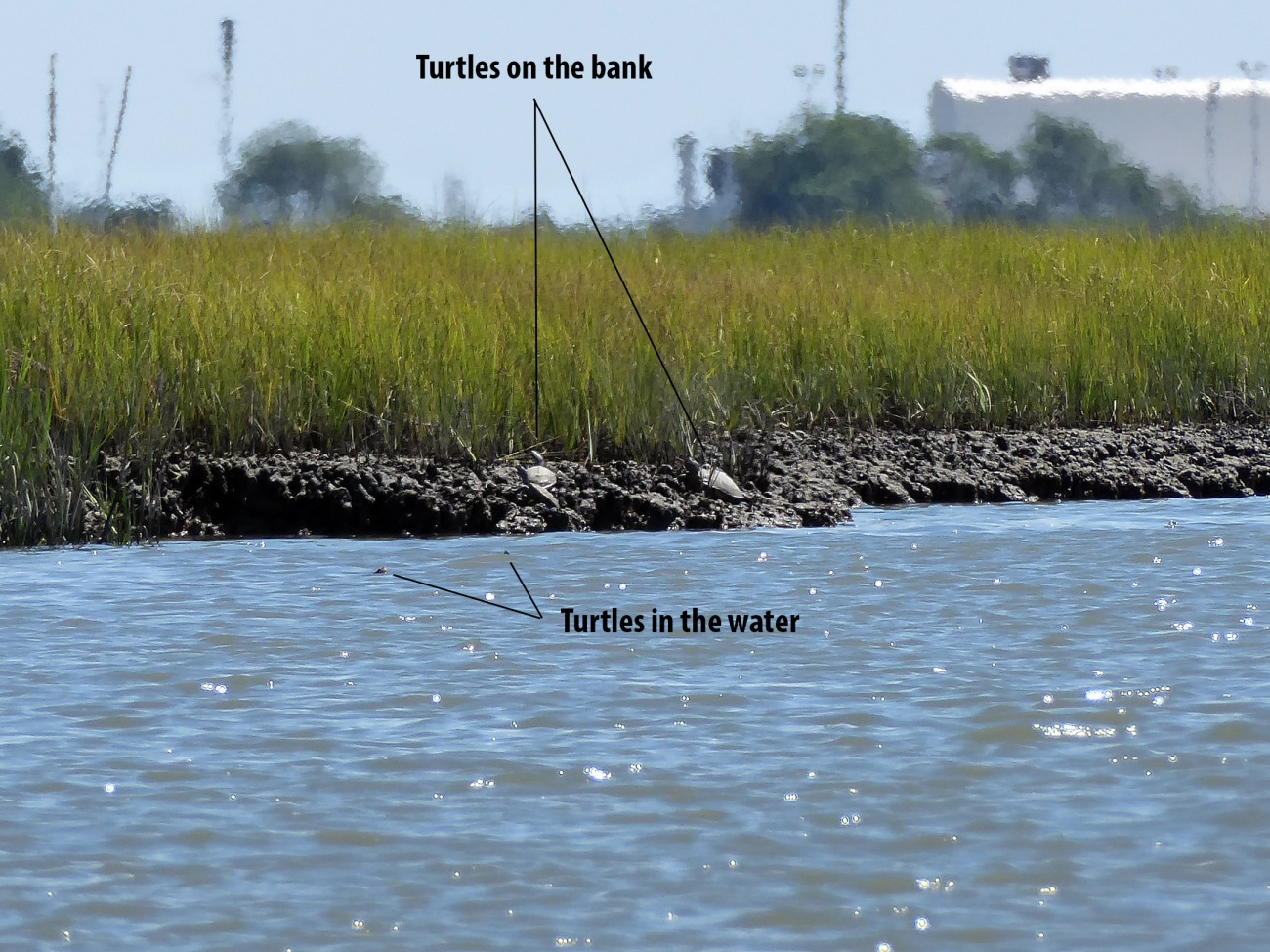 20170806_121615_Turtle swarm on the banks - Copy