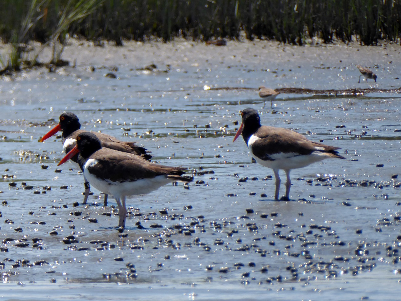 20170806_141249_American Oystercatchers - Copy