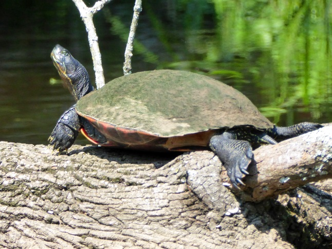 20170810_114433_Turtle getting some rays