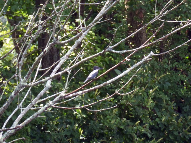 20170810_133534_Belted Kingfisher