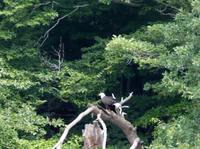 20170810_144623_Bald eagle near Stony Point