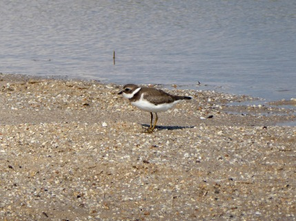 Semi-Palpated Plover