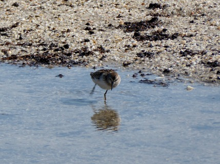 Sanderling playing in a puddle