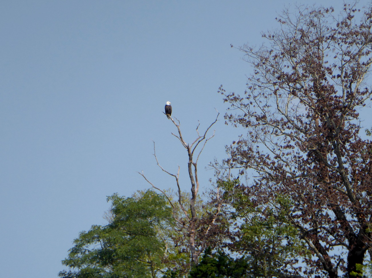 20170826_114133_Bald eagle guarding the entrance to Pitts Creek