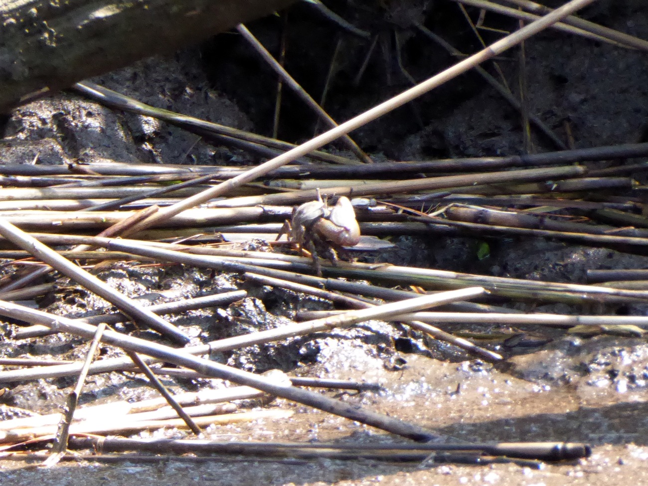 20170826_114412_Fiddler Crab along the shore