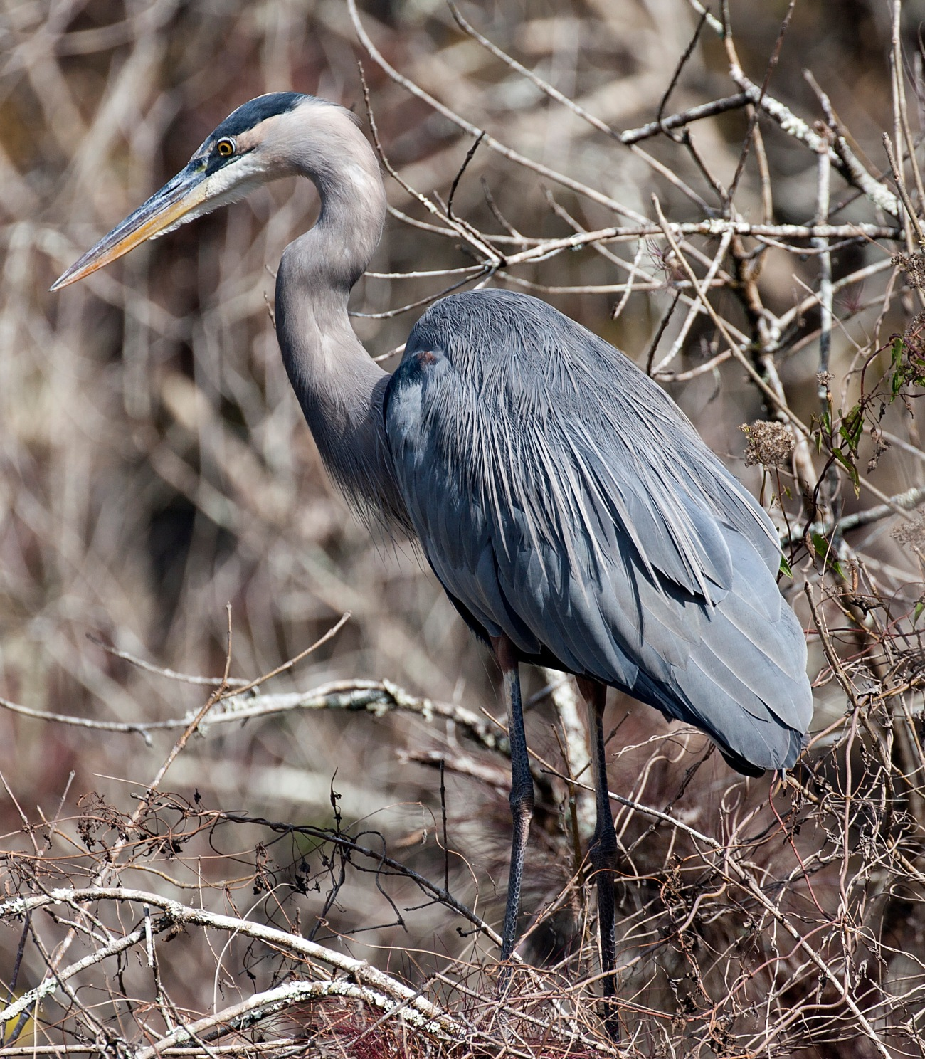 20161126_134436_Great Blue Heron at Blind