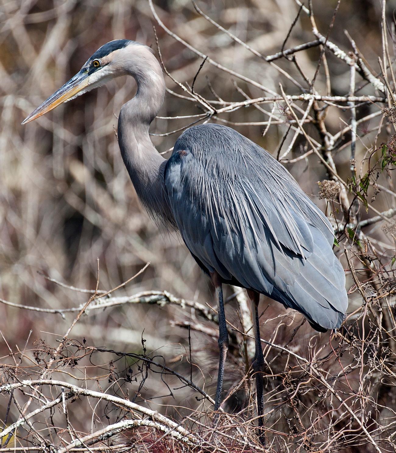 20161126_134436_Great Blue Heron at Blind