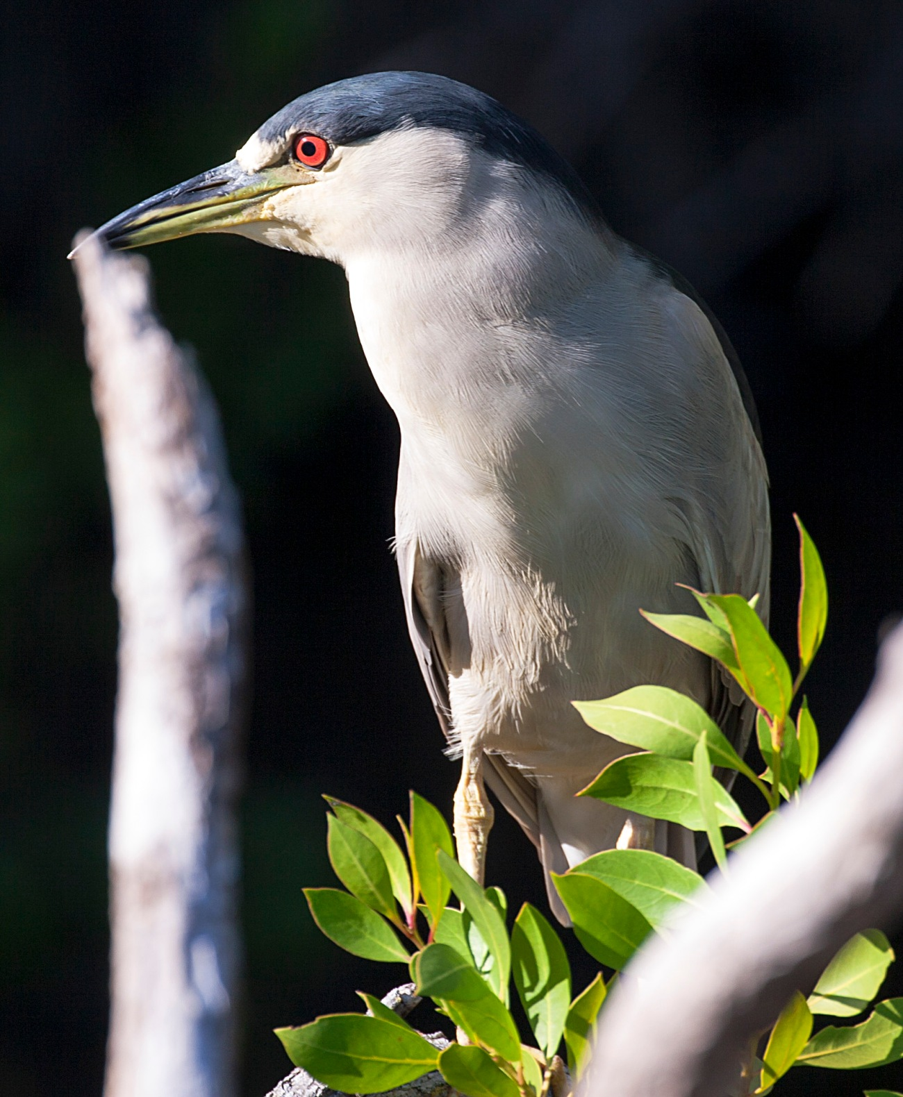 20161127_110130_Night Heron