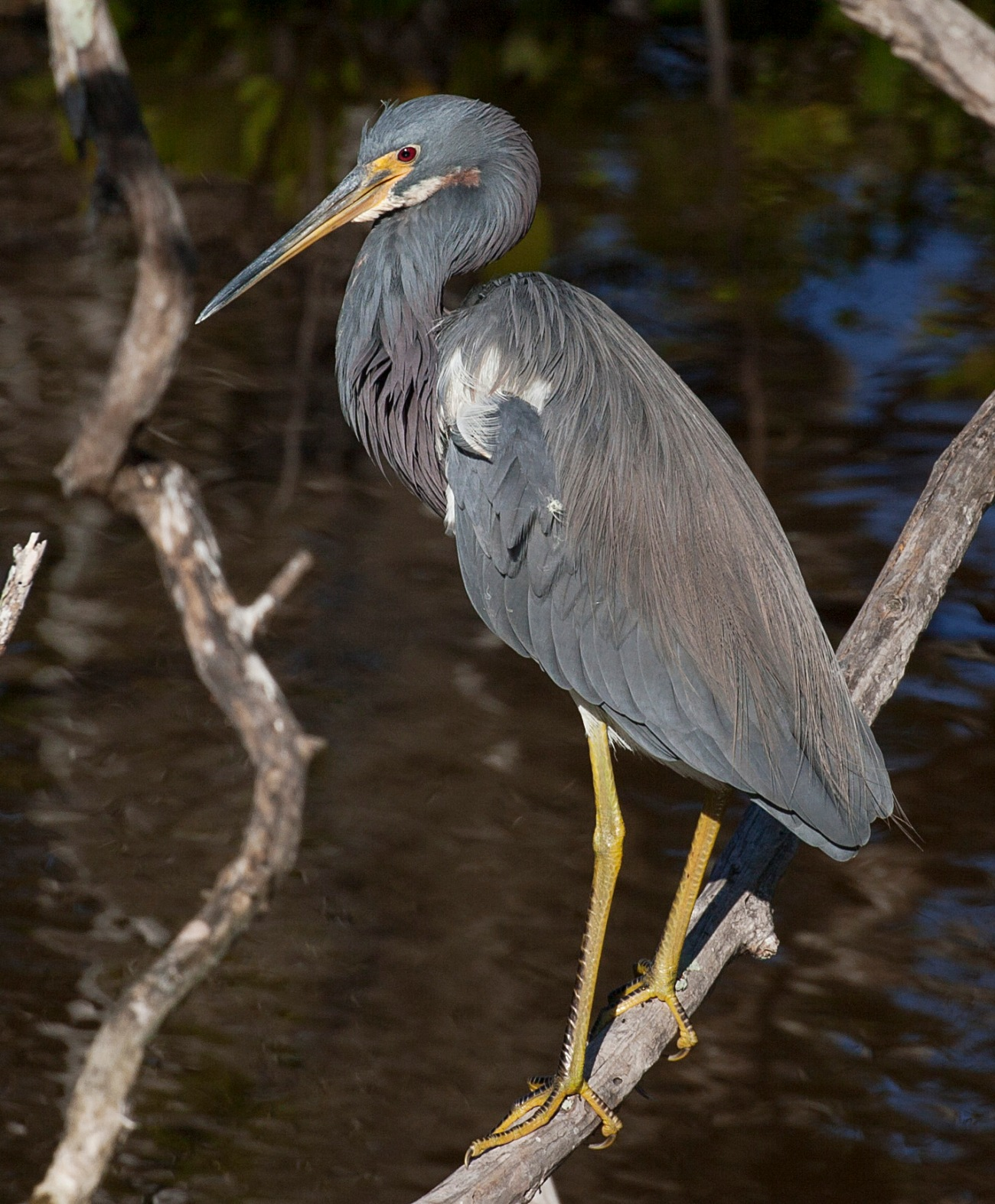 20161127_111114_Little Blue Heron