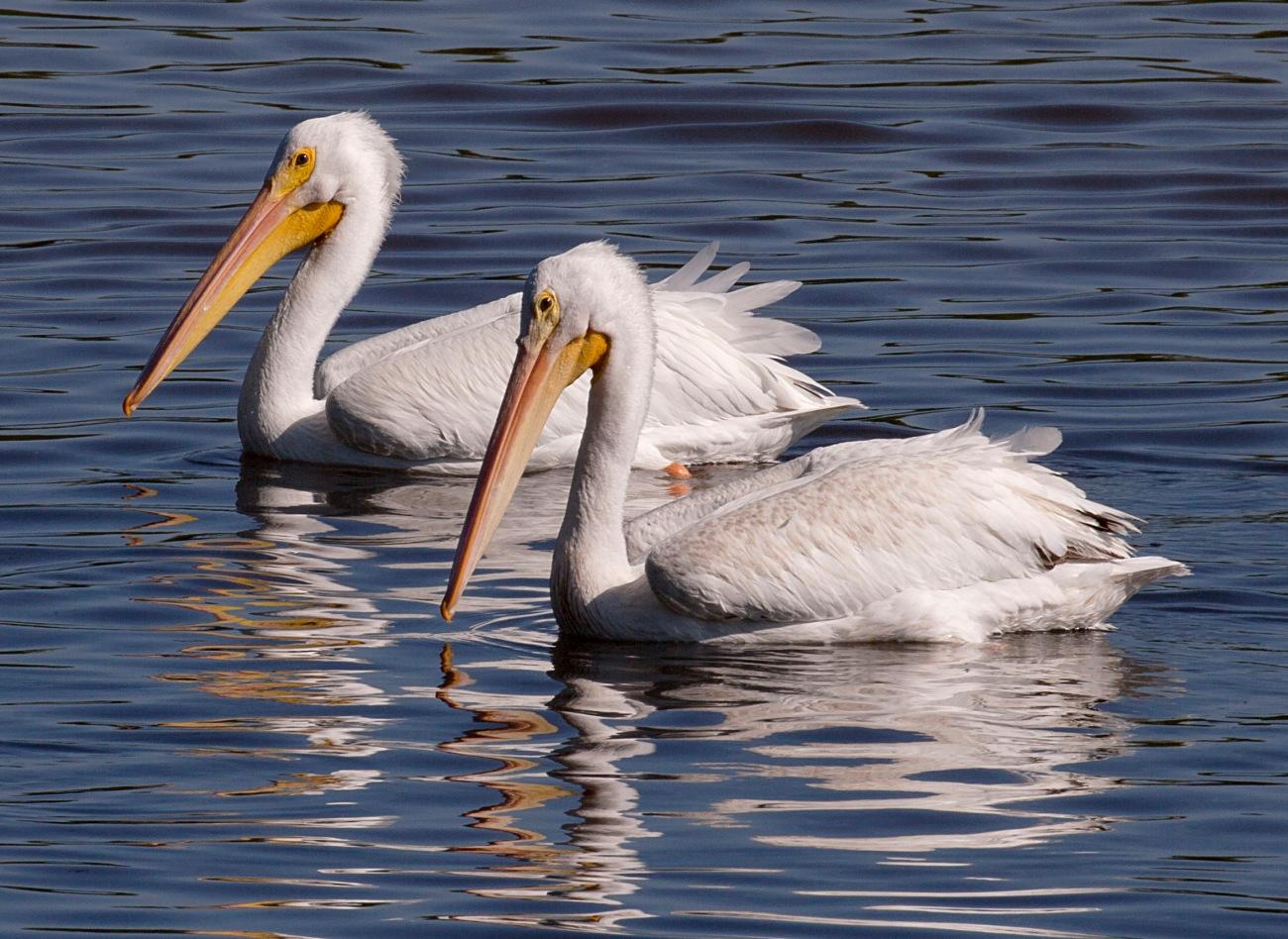 20161127_123246_Tandem White Pelicans