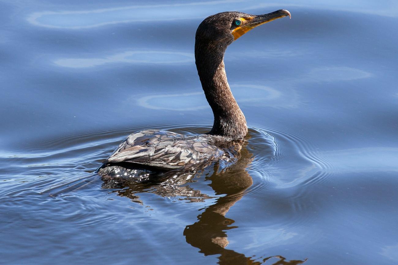 20161127_124120_Cormorant Swimming