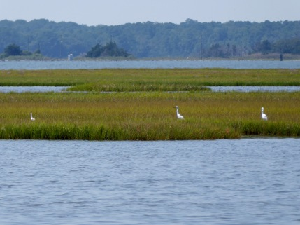 A field of egrets