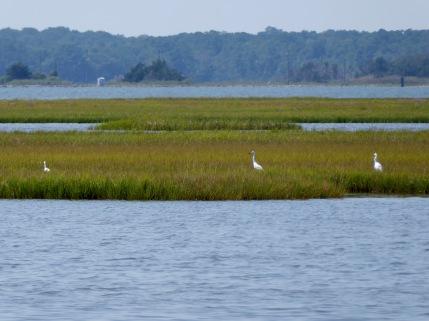 A field of egrets
