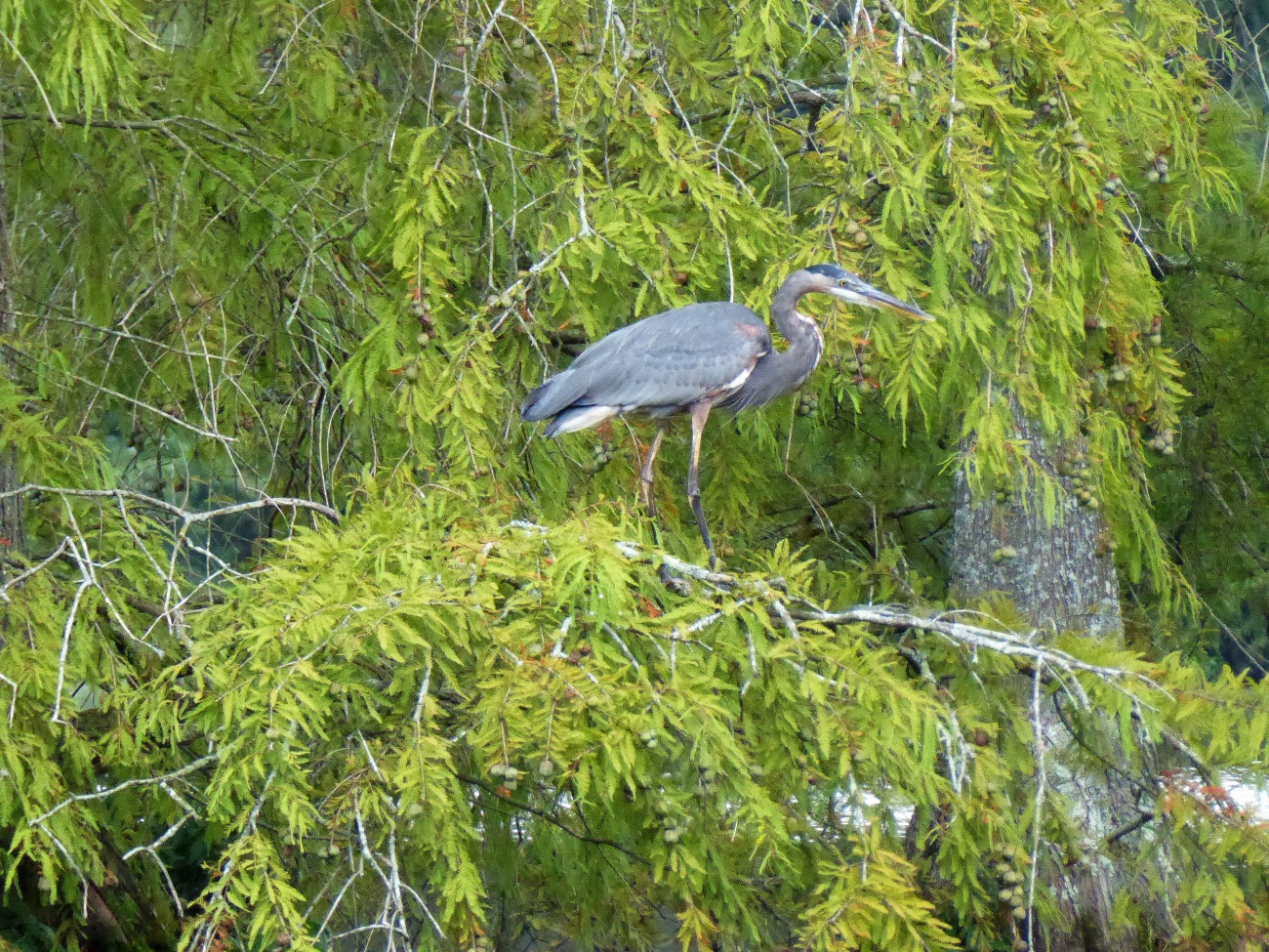 20170915_122743_Great Blue Heron in a Cypress Tree