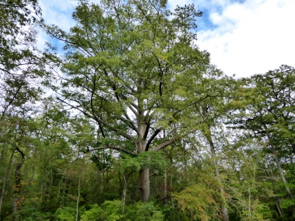 20170917_153412_Big Tree on the Bank 2