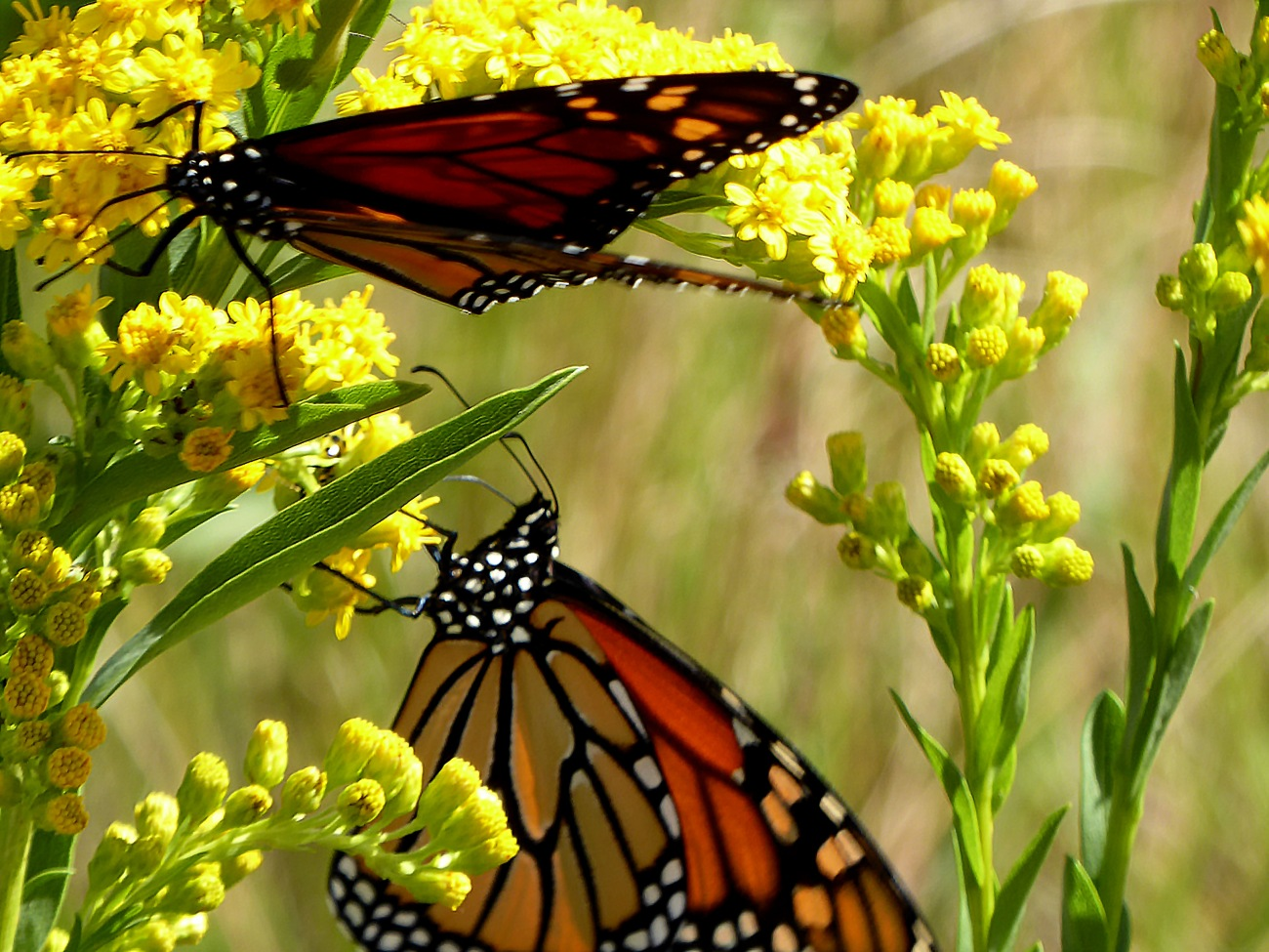 20170930_115612_Monarch butterflies holding on for dear life