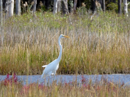 20171005_121514_Great White Egret
