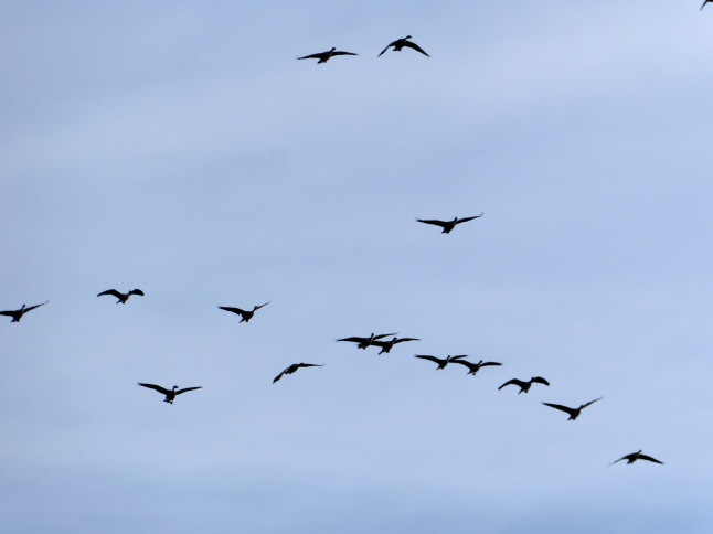 Numerous flocks of Canadian Geese flew overhead