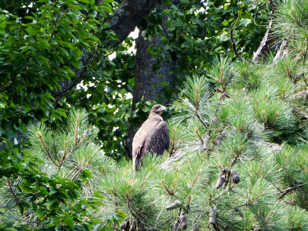 20160617_151648_Immature Bald Eagle