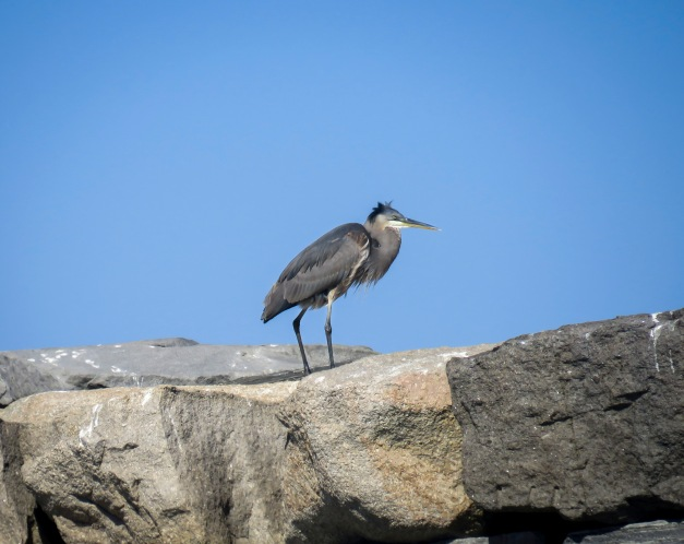 Heron on the Breakwater