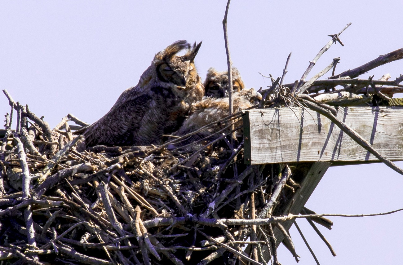 20170503_095208_Great Horned Owl Family