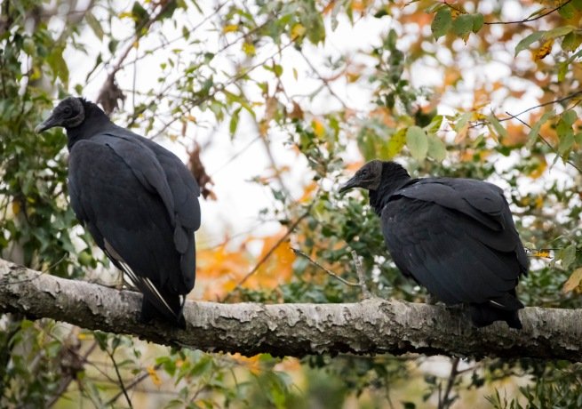 Black Vultures show keen interest