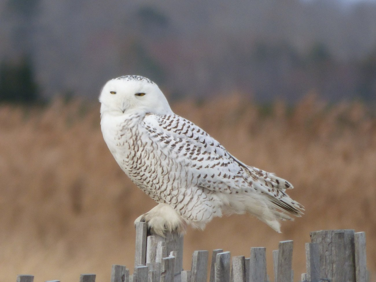 Snowy Owl Photo from Linda Lewis