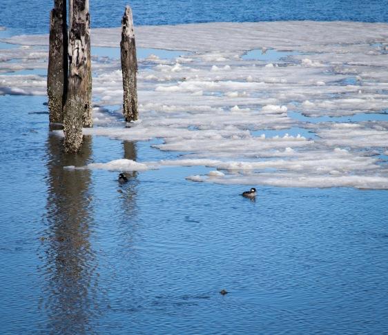 Ruddy Ducks swim in the icy waters