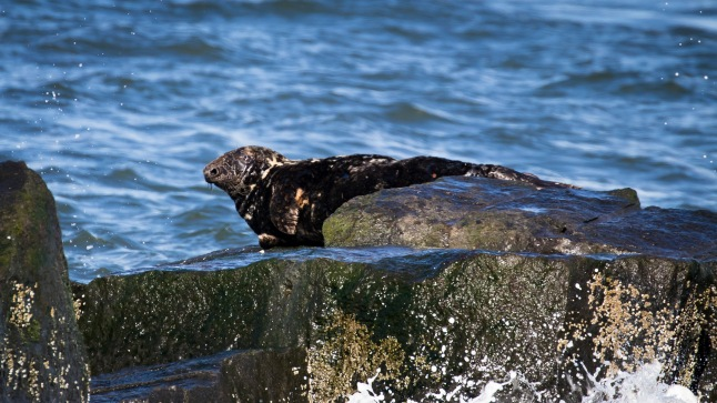 Grey Seal resting on the icebreaker rocks