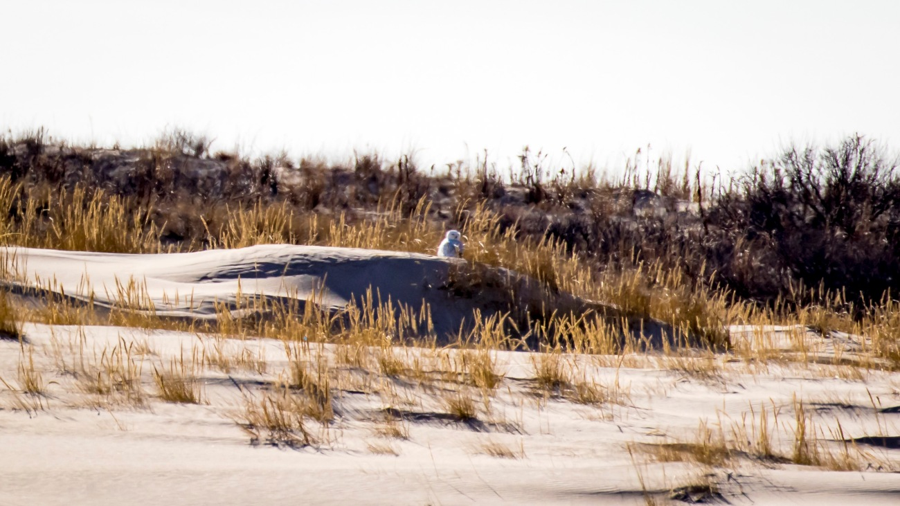 Snowy Owl on a sand dune