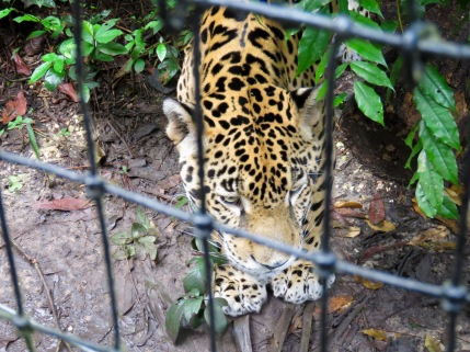 Jaguar - Belize Zoo