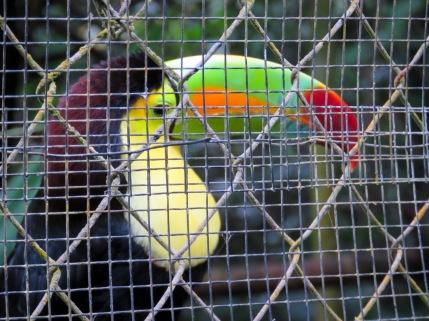 Keel-Billed Toucan - Belize Zoo