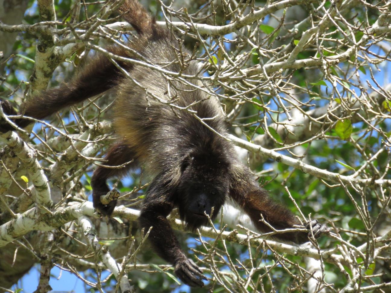 Howler Monkey - Lamanai Mayan Ruins