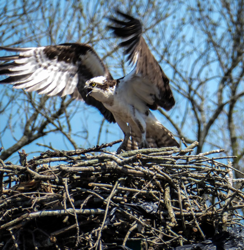 An osprey prepares to leave its nest
