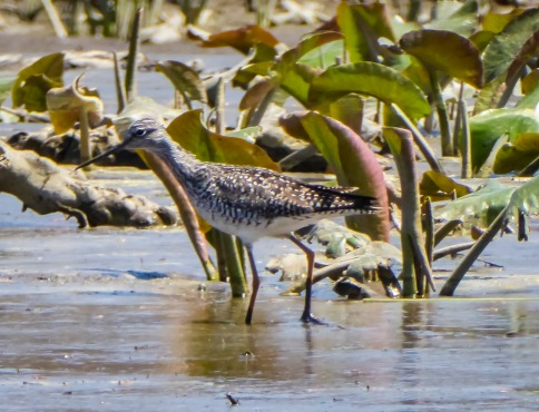 20180501_143535_Lessor Yellowlegs 2