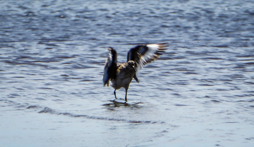 Willet in the water