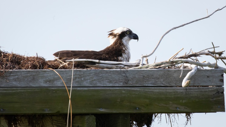 Nesting Osprey on the way to Smith Island