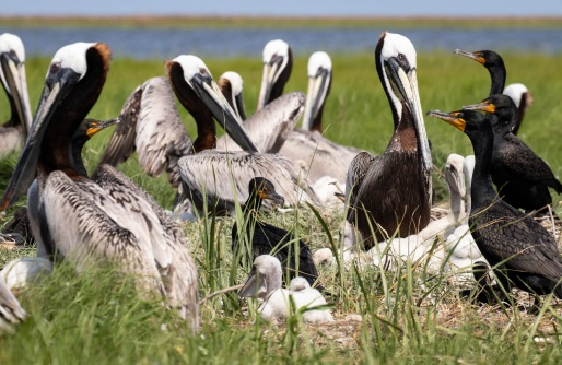 Cormorants nested intermixed with pelicans